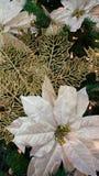 Poinsetias de la Navidad blanca Foto de archivo libre de regalías