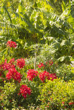Poinsetiia garden at Ometepe Island Stock Photography