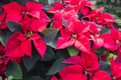 Poinsetta - λουλούδια Χριστουγέννων Στοκ Εικόνες
