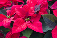 Poinsetta - Christmas flower Royalty Free Stock Photo