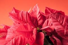 Poinsetta flowers Royalty Free Stock Photos
