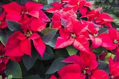 Poinsetta - Kerstmisbloemen Stock Foto