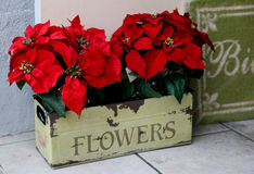 Poinsettas Royalty Free Stock Photo
