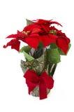 poinsettia λουλουδιών Χριστου&g Στοκ Εικόνα