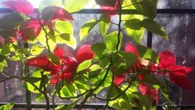 Poinsettia το καλοκαίρι Στοκ εικόνα με δικαίωμα ελεύθερης χρήσης