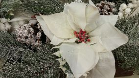 Poinsettia Χριστουγέννων με το πεύκο Στοκ εικόνα με δικαίωμα ελεύθερης χρήσης