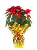 Poinsettia Χριστουγέννων Στοκ Εικόνα