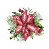 Poinsettia акварели розовый с оформлением рождества флористическим Цветок и заводы покрашенные рукой традиционные: падуб, омела Стоковая Фотография