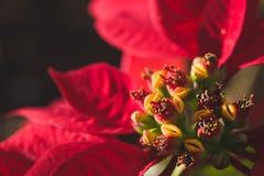 Poinsettia конец вверх Стоковые Фотографии RF