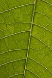 poinsettia листьев крупного плана Стоковые Изображения RF