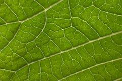 poinsettia листьев крупного плана Стоковые Фотографии RF