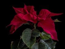 Poinsettia рождества изолированный на черной предпосылке стоковые изображения