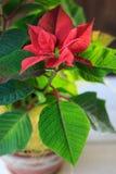 Poinsettia рождества - вид завода дома рождества на керамическом баке Стоковые Изображения RF