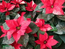 Poinsettia, цветок звезды рождества Стоковая Фотография RF