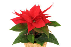 Poinsettia. Red Poinsettia in front of a white background stock photos