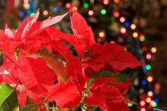 Poinsettia. With bright red leaves with the blurred Christmas tree lights in background stock images