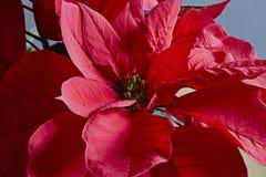 Poinsettia, Stockfotos