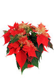 Poinsettia. Red Poinsettia in front of a white background stock photography