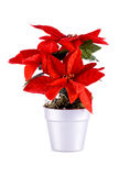 Poinsettia. Royalty Free Stock Photography