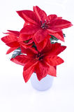 Poinsettia. Royalty Free Stock Images