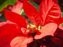 Poinsettia Stock Photos