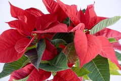 Poinsettia Stock Foto's