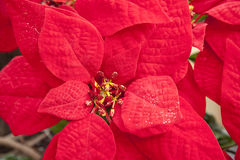 Poinsettia Foto de Stock Royalty Free