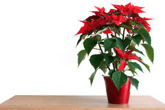 Poinsettia. On table with white background royalty free stock image