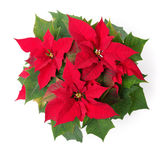 Poinsettia. Red symbol of Christmas. Poinsettia flower isolated over white Royalty Free Stock Photo
