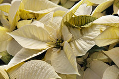 Poinsettia Imagen de archivo libre de regalías