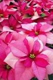 Poinsettia Fotos de Stock Royalty Free