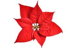 Poinsettia Royalty Free Stock Photography