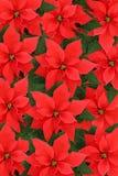 Poinsettia royalty-vrije stock fotografie