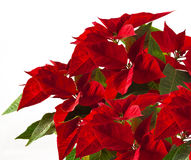 Poinsettia Royalty Free Stock Photos