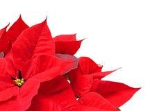 Poinsettia. Christmas poinsettia corner border on a white background stock images