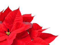 Poinsettia Imagens de Stock