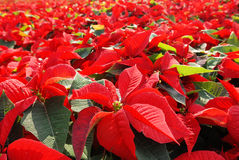 Poinsettia. Hundreds of beautiful poinsettia flowers ready for the holiday season stock photos