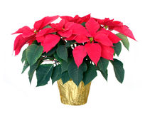 Poinsettia. Christmas poinsettia isolated on a white background Royalty Free Stock Images