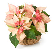 Poinsettia. Pink poinsettia in a basket stock photo
