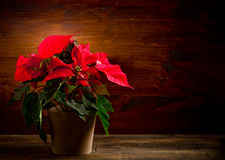 Poinsettia. Photo of beautiful poinsettia plan on wooden table illuminated by spot royalty free stock images