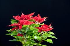 Poinsettia Stock Image