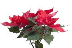 Poinsettia. Royalty Free Stock Photo