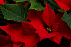 Poinsettia. Red and green poinsettia leaves royalty free stock photos