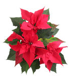 Poinsettia. Beautiful poinsettia over the white royalty free stock photos