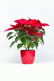 Poinsettia Image libre de droits