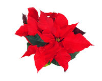 Poinsettia Royalty Free Stock Photography