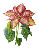 Poinsettia. Watercolor with a poinsettia on a white background Royalty Free Stock Photo