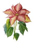 Poinsettia Stock de ilustración