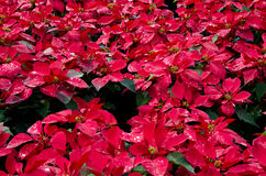 Poinsettia. Ornamental bright red color, perfect for travel and vacation Royalty Free Stock Images