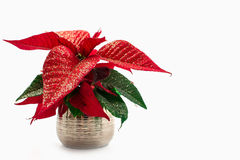 Poinsettia Stockbild